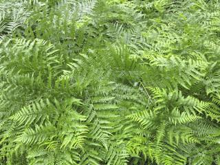 fern - Pteridium aquilinum