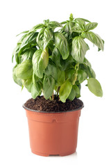 pot of fresh basil