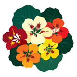 bouquet of flowers mulicolor nasturtium