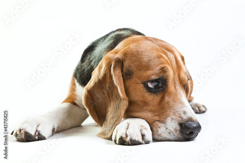Cute beagle on white