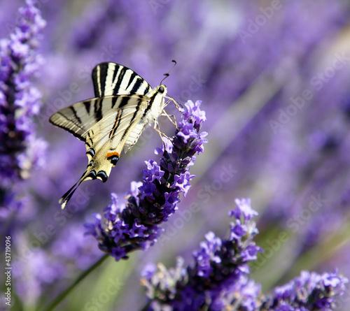 Motyl na Lavender (Iphyclides podalirius)