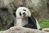 Fototapety Giant panda bear sleeping