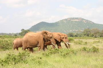 Elefanten, Elephants in Kenya