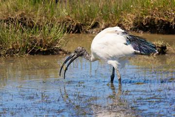 ibis sacré du nil avec crabe dans le bec