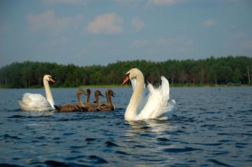 Swan seed
