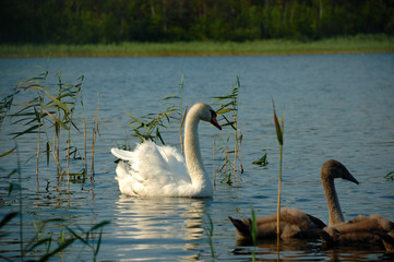 Swan and nestling