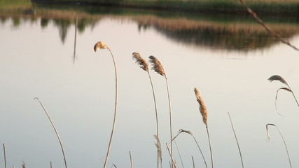 reeds on the lake
