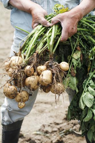 じゃが芋の収穫