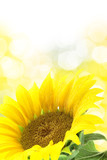 Fototapety Sunflower against yellow spotted background