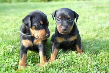 The Miniature Pinscher puppies, 1 months old