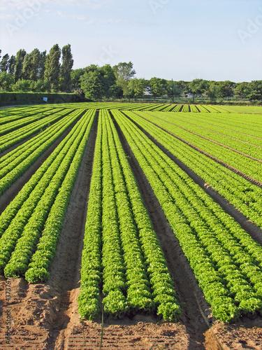 cultivation of green salad on a thin sand