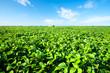 Rural landscape with fresh green soy field. Soybean field - 43740087