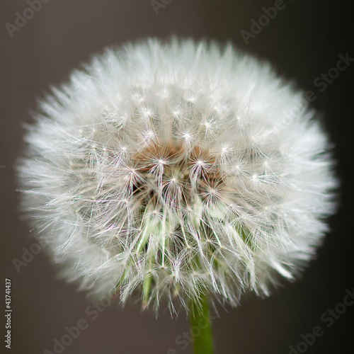 A simple dandelion image.