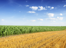 Champ corn