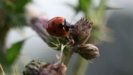 Marienkäfer gegen Ameise