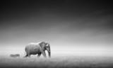 Fototapety Elephant with zebra (Artistic processing)