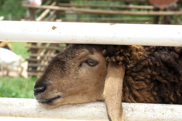 Sading sheep in stable