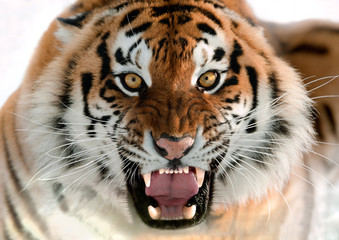 Siberian Tiger Growling