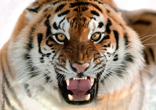 Siberian Tiger Growling - 43758033
