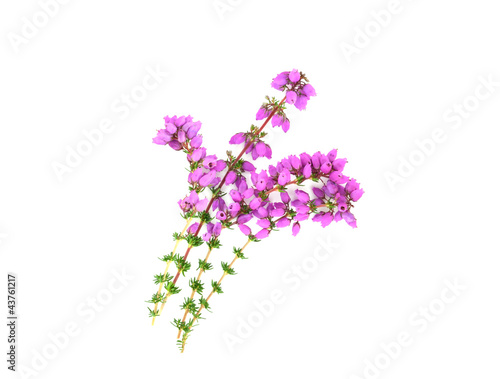 Purple Heather Isolated
