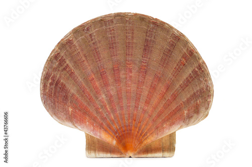 scallop shell or shell of Saint James