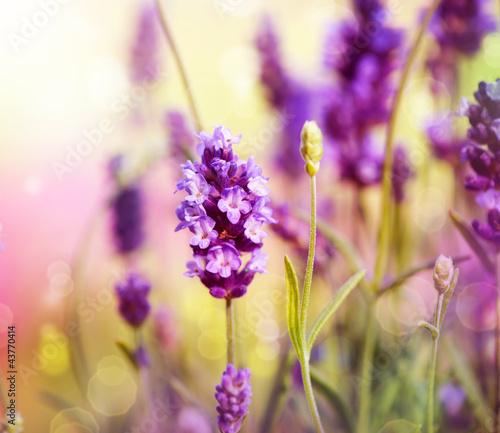 Lavender Field - 43770414