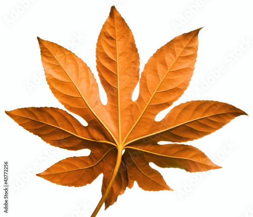 red leaf isolated on white background - back side