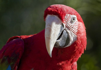 Crimson Macaw in close up
