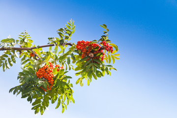 rowanberry under blue sky