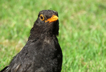 Close up of a British blackbird on a grass lawn