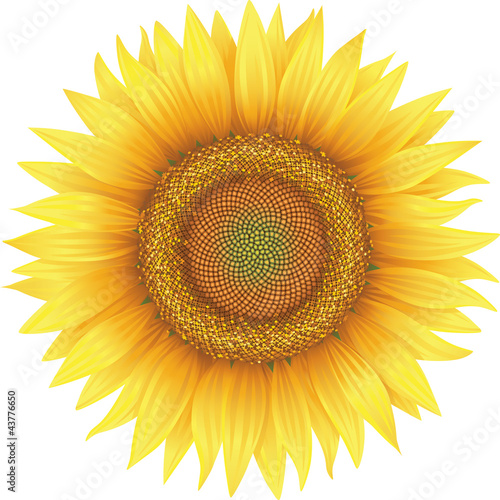 Flower of sunflower, isolated on white, vector