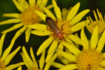 Red Sodier beetle on feeding on ragwort