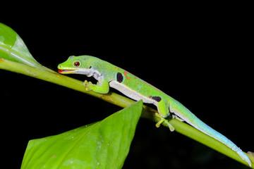 peacock day gecko, phelsuma quadriocellata, ranomafana