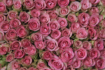 Pink roses in a group