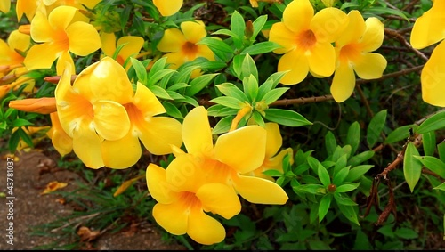 Allamanda Golden Trumpet flower