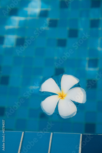 Plumeria flower floating