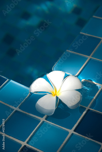 Frangipani in the pool