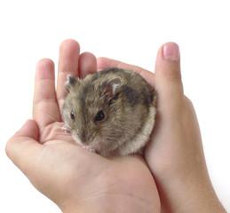 dwarf hamster in children hands - white background