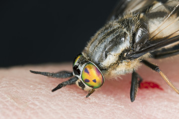 Twin-lobed deerfly (Chrysops relictus) sucking blood from human