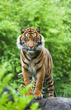 Asian- or Bengal tiger with bamboo bushes background-