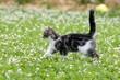 Katzenwelpe läuft im Klee
