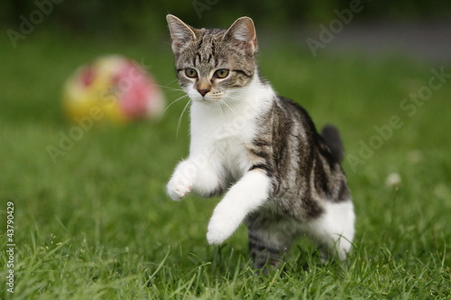 Fotobehang Tijger Tigerkatze springt