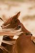 An Arabian Foal in Desert