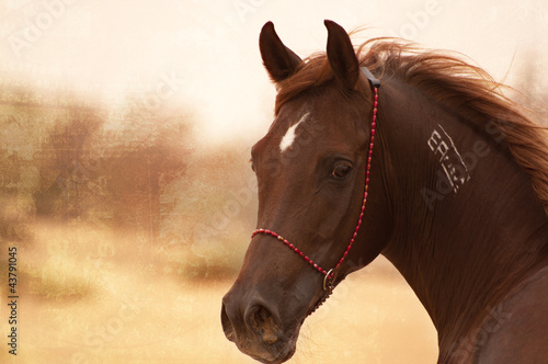Chestnut Arabian on a pasture