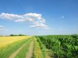 wheat field and corn
