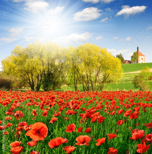 spring landscape and poppy field