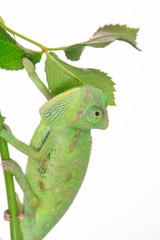 little green chameleon on a branch
