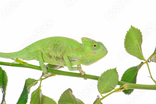 little green chameleon on a branch
