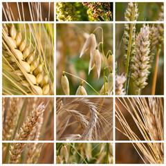 Getreide - Sorten