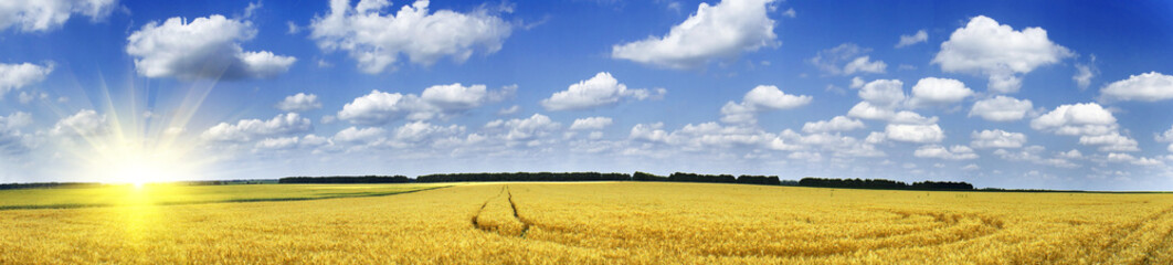Golden wheat field.